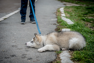 Image of stubborn husky puppy lying on the ground, refusing to get up and go home from the park.