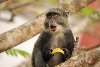 Image of a Sykes monkey on a tree limb with a scared look on its face