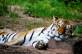 Image of a tiger laying its head on a rock with a blurry grass background
