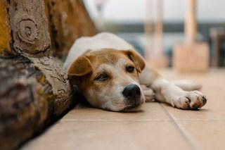Image of sleepy dog lying on a tile floor