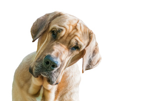 Image of large dog with compassionate attentive look